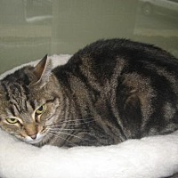 Domestic Shorthair Cat for adoption in Auburn, California - Lily