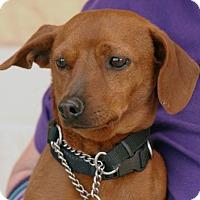 Dachshund Mix Dog for adoption in Palmdale, California - Mac