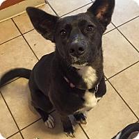 Adopt A Pet :: Annabelle - Bardonia, NY