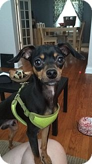 Miniature Pinscher/Chihuahua Mix Dog for adoption in ST LOUIS, Missouri - Armani