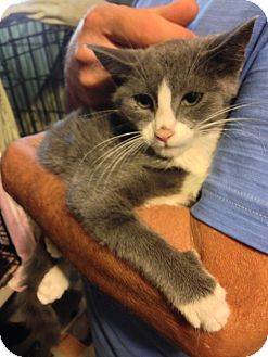 American Shorthair Kitten for adoption in Brooklyn, New York - Gracie and Marble