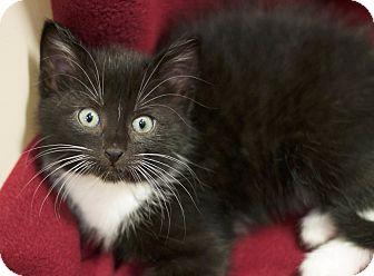 Domestic Shorthair Kitten for adoption in Sioux Falls, South Dakota - Ellie