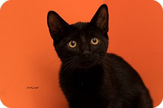 Domestic Shorthair Kitten for adoption in Flushing, Michigan - Ebony