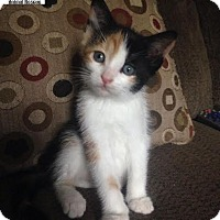 Adopt A Pet :: Piper - Adorable! - Huntsville, ON