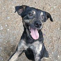 Adopt A Pet :: Jello - Godfrey, IL
