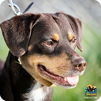 Shepherd (Unknown Type) Mix Dog for adoption in Evansville, Indiana - Valentino
