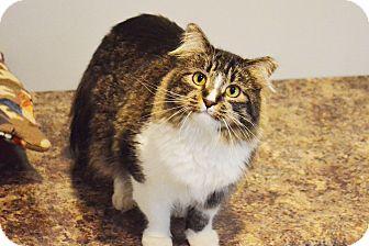 Domestic Mediumhair Cat for adoption in Lincoln, Nebraska - Buttons