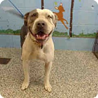 Pit Bull Terrier Dog for adoption in San Bernardino, California - URGENT ON 10/8  San Bernardino