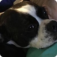 Adopt A Pet :: Hugo - Indianapolis, IN