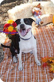 Pit Bull Terrier Mix Dog for adoption in Phoenix, Arizona - RUFUS