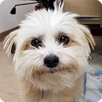 Maltese Mix Dog for adoption in Independence, Missouri - Keita