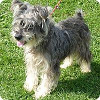 Standard Schnauzer Dog for adoption in Zanesville, Ohio - 47788 Attie SENIOR sponsored $65 plus tags