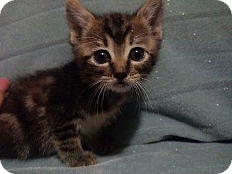 American Shorthair Kitten for adoption in oklahoma city, Oklahoma - Rio