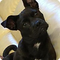Adopt A Pet :: Poptart - Westminster, MD