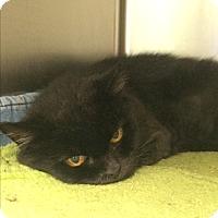 Domestic Longhair Cat for adoption in Lunenburg, Massachusetts - Shadow