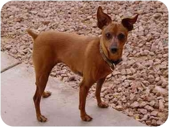 Miniature Pinscher Dog for adoption in Phoenix, Arizona - Roo