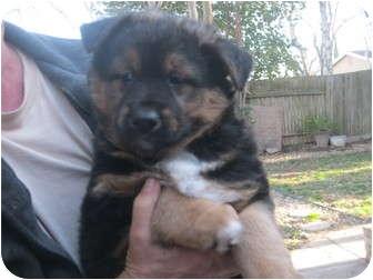 Rottweiler mix puppy for adoption in sacramento california angus