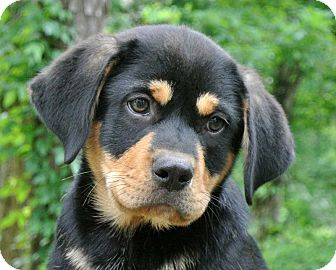 Rottweiler/Labrador Retriever Mix Puppy for adoption in Groton, Massachusetts - Ronnie