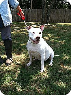 American Pit Bull Terrier Mix Dog for adoption in Blanchard, Oklahoma ...