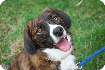 Australian Shepherd/Collie Mix Dog for adoption in Richmond, Virginia - Casey