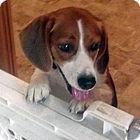 Adopt A Pet :: Sophia - Novi, MI