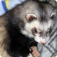 Adopt A Pet :: Glitch - Buxton, ME