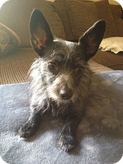 Chinese Crested/Jack Russell Terrier Mix Dog for adoption in Mission Viejo, California - Dolce