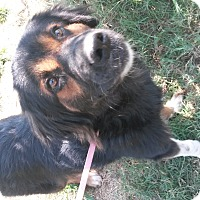 Bernese Mountain Dog/Australian Shepherd Mix Dog for adoption in Leming, Texas - Bernice
