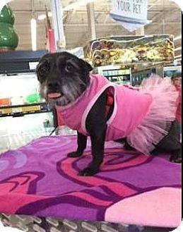 Norwich Terrier/Toy Fox Terrier Mix Dog for adoption in Phoenix, Arizona - LANNA LAMAR