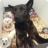 Adopt A Pet :: Harper - Chino Hills - Chino Hills, CA