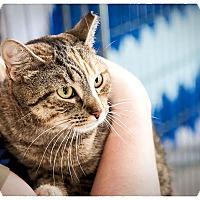 Domestic Shorthair Cat for adoption in Middletown, New York - Tigger