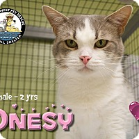 Domestic Shorthair Cat for adoption in Davenport, Iowa - Onsey