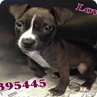 Adopt A Pet :: LOVIE - San Antonio, TX