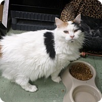 Domestic Longhair Cat for adoption in Cleveland, Mississippi - KATIE