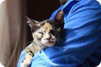 Domestic Shorthair Kitten for adoption in Wichita, Kansas - Penny