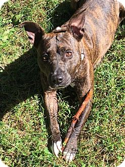 Boxer/American Staffordshire Terrier Mix Dog for adoption in Harrisville, Rhode Island - Lulu