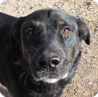 Shepherd (Unknown Type)/Rottweiler Mix Dog for adoption in San Tan Valley, Arizona - Asher
