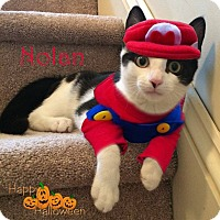 Domestic Shorthair Cat for adoption in East Brunswick, New Jersey - Nolan