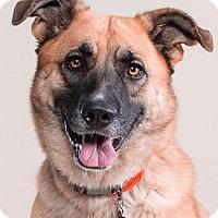 Anatolian Shepherd Mix Dog for adoption in Pt. Richmond, California - KONA