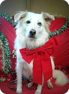 Australian Shepherd/Collie Mix Dog for adoption in Spartanburg, South Carolina - Ken Jackson