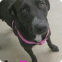 Adopt A Pet :: 414272 Zoe - San Antonio, TX