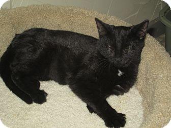 Domestic Shorthair Kitten for adoption in Richland, Michigan - Star