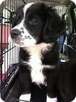 Labrador Retriever/Border Collie Mix Puppy for adoption in Gainesville, Florida - Wobble