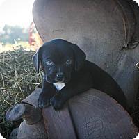 Adopt A Pet :: Billie Beth - Russellville, KY