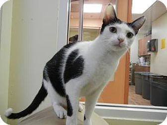 Domestic Shorthair Cat for adoption in Miami, Florida - Nanita