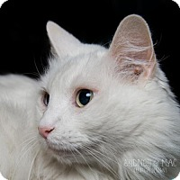 Adopt A Pet :: Tirena - CHATTY CAT - Herndon, VA