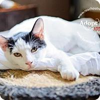 Adopt A Pet :: Dotti - Westminster, MD