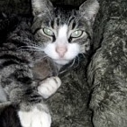 Photo 1 - Domestic Shorthair Cat for adoption in Barnegat, New Jersey - Handsome Harry