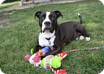 American Staffordshire Terrier Mix Dog for adoption in Northbrook, Illinois - Papa Bear