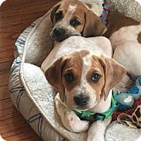 Adopt A Pet :: Red-Tick Puppys - Odessa, FL